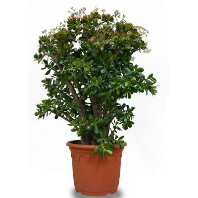 Денежное дерево уход за цветком