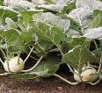 огородик своими руками секреты выращивания капусты
